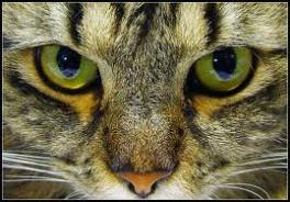 Mean green eyes in cats