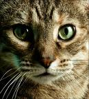 Cats green eyes