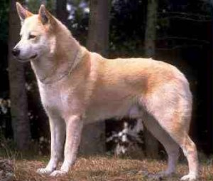 Canaan Dog Take Immune Supplements for Health and Longevity